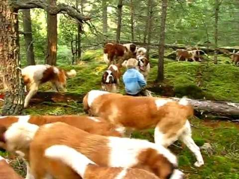 Out for a walk with our 42 Saint Bernards. Lasquite's reg Saint Bernards on Lasqueti Island Canada. For more info please visit my website at: http://www.lasquitesaintbernards.com/Lasquite_Saint_Bernards.html
