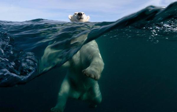 polar-bear-swimming.jpg