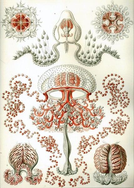 Artforms-in-Nature-Kunstformen-der-Natur-Ernst-Haeckel-Anthomedusae.jpg