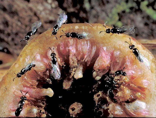 fig-wasps.jpg
