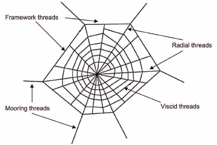 Fig-1-Schematic-diagram-of-a-spider-web.png