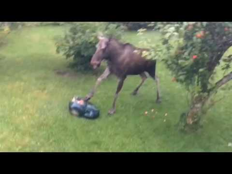 This moose was trying enjoy a meal in someone's backyard. He was nibbling on some fruit on a tree when an automated lawnmower rolled up to him and surprised him. He jumped in the air out of terror and smashed the machine before going back to eating his food.