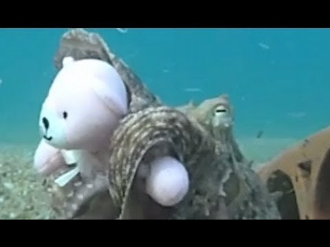 Octopus Fell In Love With Teddy!