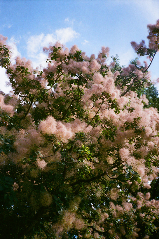 A tree with puffs of light pink flowers