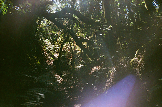 A cloud-forest in La Gomera, with sunlight streaming through the trees and hanging moss