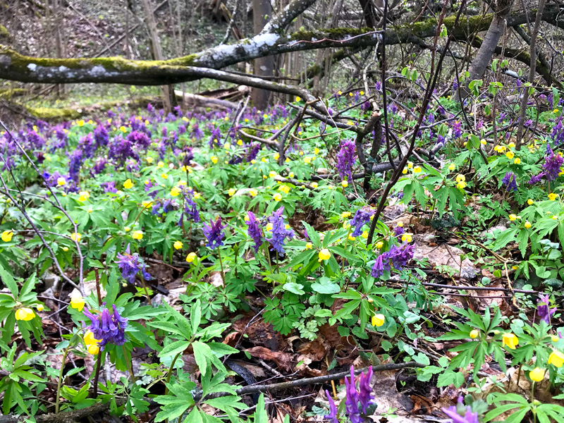 A forest in Lithuania with purple and yellow flowers everywhere. In the background is tree covered in moss and lichen.