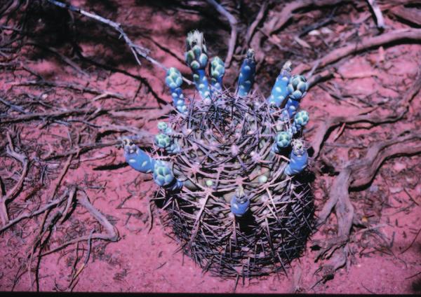 Kormann-Cacti-Graham-20Charles-298.jpg
