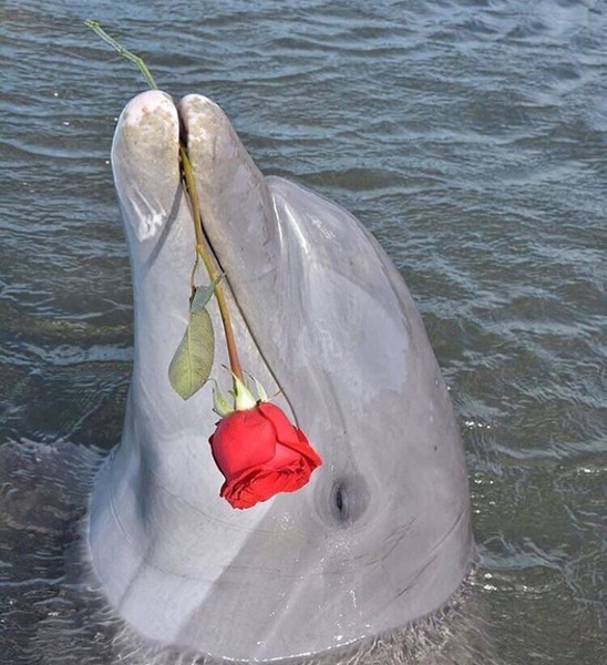 dolphin with rose