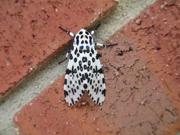 Leopard moth https://commons.wikimedia.org/wiki/File:Giant_leopard_moth.JPG