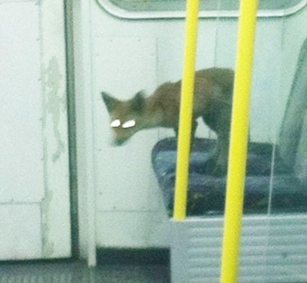 Fox on London Tube