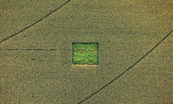 cannabis in a cornfield