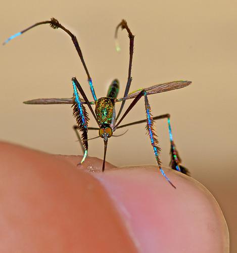 iridescent-mosquito.jpg