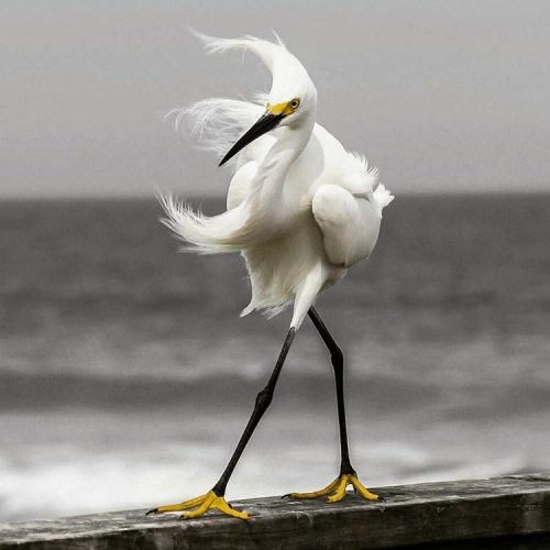 On the Cat Walk. Photography by @ (D. Banks). This Snowy Egret is walking on the rail of a pier over the Atlantic Ocean in Florida.#snowyegret #Florida #Egret #walking