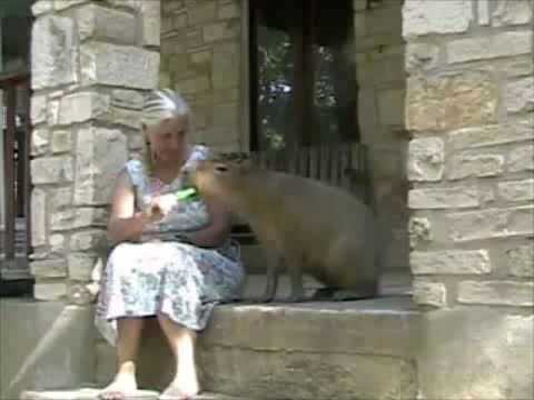 Capybara Eats a Popsicle Scary and Adorable