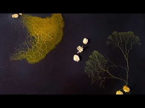 The slime mould, Physarum polycephalum, meets a Danish cousin, Badhamia - and gets seriously bullied. Part of The Physarum Experiments, Heather Barnett's experimental films working with Physarum polycephalum.