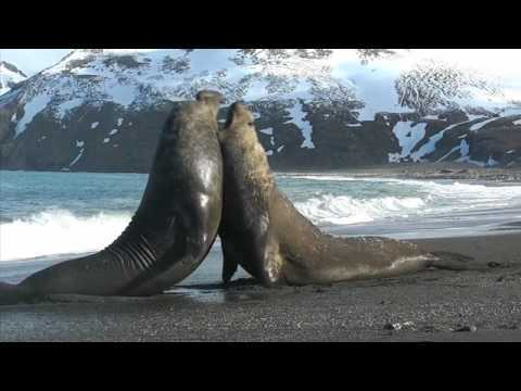 Vicious Elephant Seal battle on South Georgia