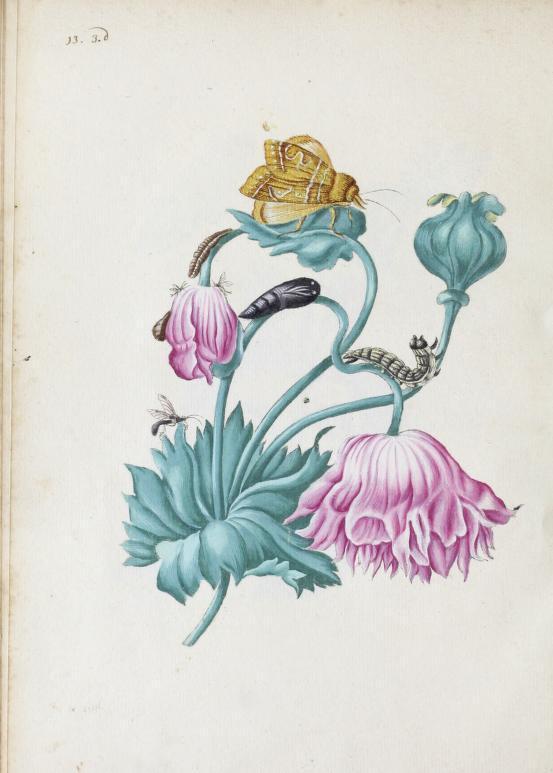 Der rupsen begin, voedzel en wonderbaare verandering, 1713