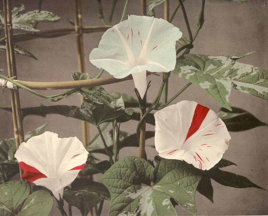 Flower Collotype by Ogawa Kazumasa, 1895