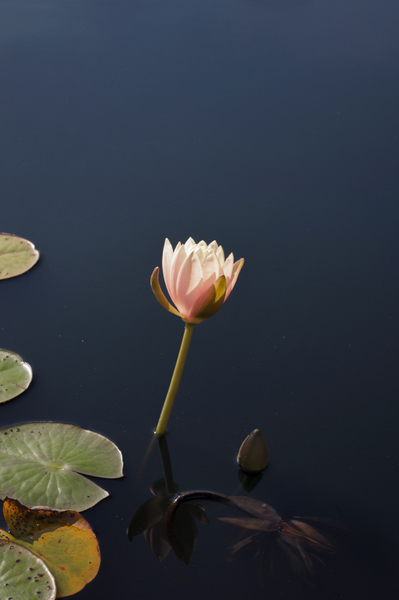 4-Water-Lily.jpg