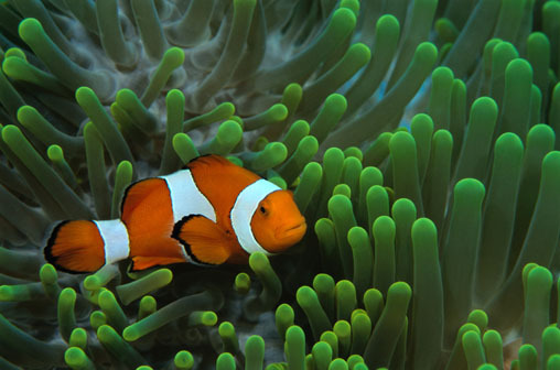 Clownfish and sea anemones have a symbiotic, mutualistic relationship; each providing a number of things to benefit the other. The individual species are generally highly host specific, and especially the genera Heteractis and Stichodactyla, and the species Entacmaea quadricolor are frequent clownfish partners. The sea anemone protects the clownfish from predators, as well as providing food through the scraps left from the anemone's meals. In return, the clownfish defends the anemone from its predators, and cleans it from parasites. The anemone also potentially picks up nutrients from the Clownfish's excrement, and functions as a safe nest site. It has been theorized that the clownfish use their bright colouring to lure small fish to the anemone, and that the activity of the clownfish results in greater water circulation around the sea anemone.  Clownfish and certain damselfish are the only species of fishes that can avoid the potent poison of a sea anemone.