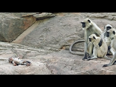 """Langur Monkeys Grieving! Langur monkeys mistake the motionless robotic Spy Langur Monkey that was accidentally dropped as a lifeless baby langur and begin to grieve. Clip from episode 1 'Love' of our new 5 part series """"Spy in the Wild"""" starting Thursday 12th January, 8pm on BBC 1."""