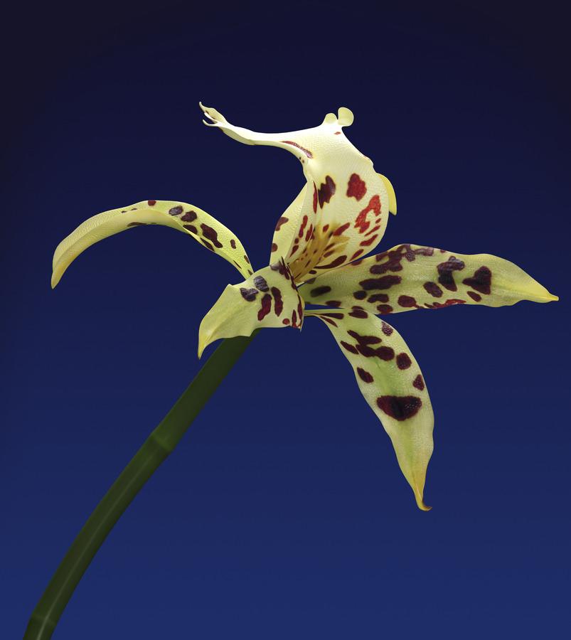 Tiger Lily, 2012