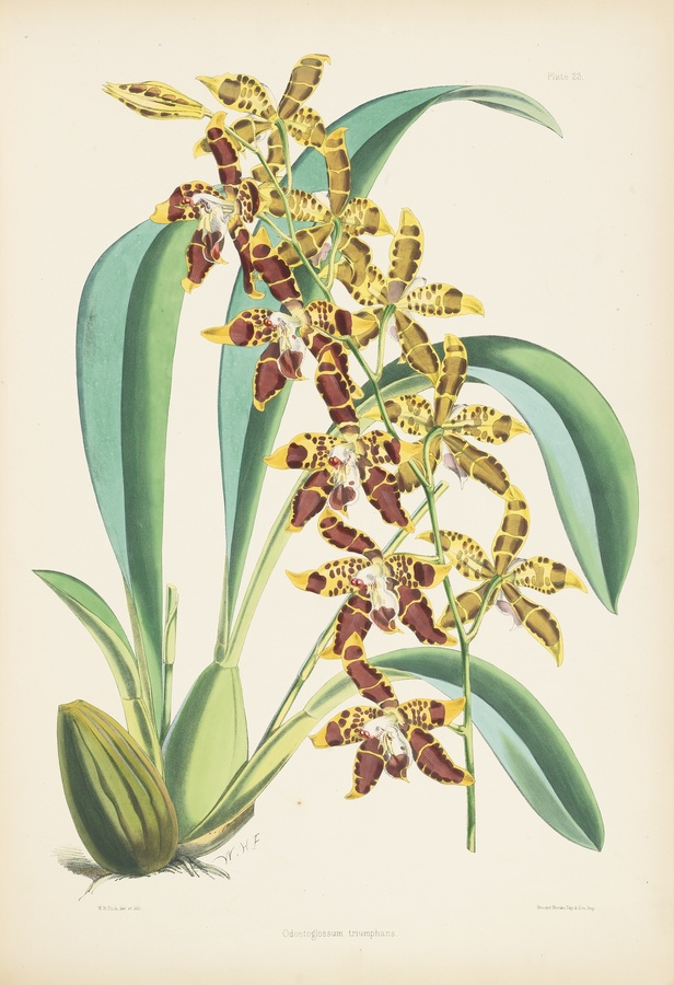 Bateman, James A Monograph of Odontoglossum.  London: L. Reeve, 1874  http://www.sothebys.com/en/auctions/ecatalogue/2012/books-manuscripts-n08919/lot.98.html