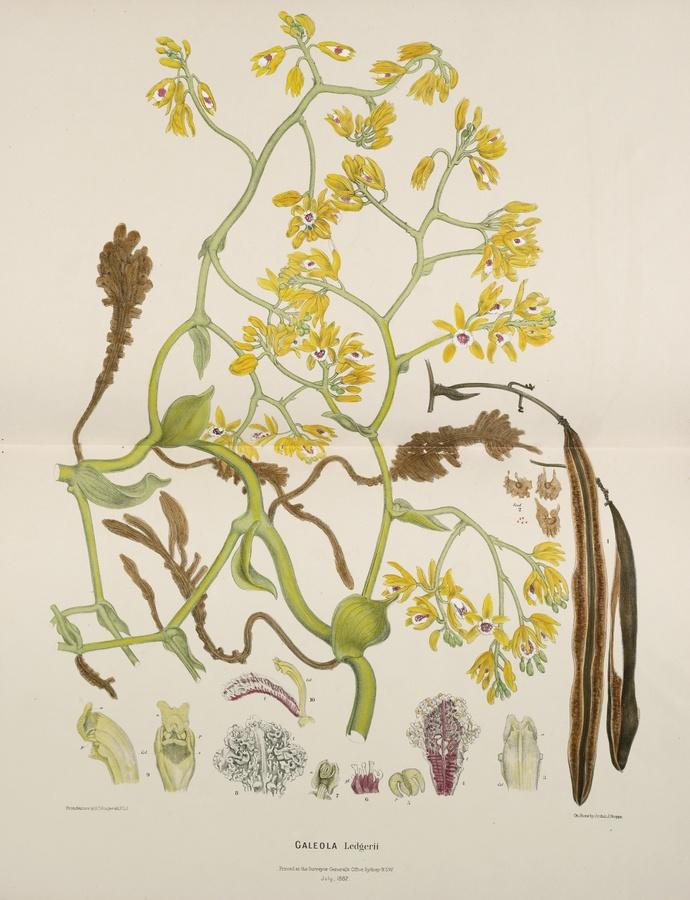 Fitzgerald, Robert Desmond Australian Orchids.  Sydney: Thomas Richards, Government Printer, [1875–] 1882 [–1894]  http://www.sothebys.com/en/auctions/ecatalogue/2012/books-manuscripts-n08919/lot.105.html