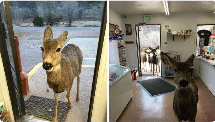http://www.reshareworthy.com/deer-drops-by-gift-shop-with-kids/