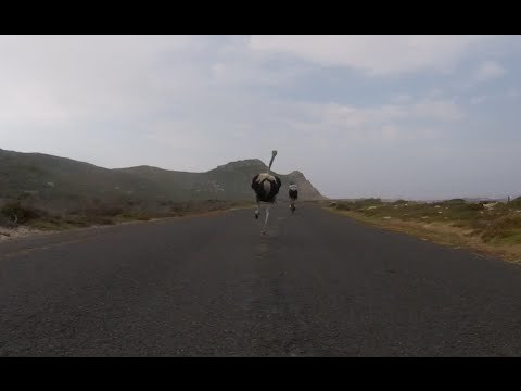 Cyclists chased by an ostrich. The funniest thing you'll see today