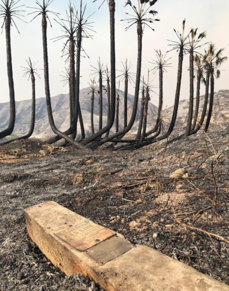 Burnt palm trees