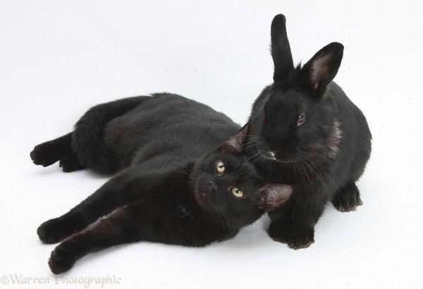 21833-Black-cat-and-black-rabbit-white-background.jpg