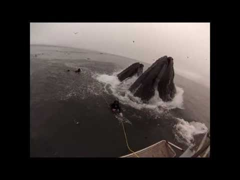 Whales almost eat Divers (Original Version)