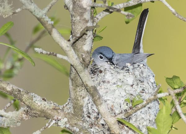 blue-gray-gnatcatcher-in-nest-5.jpg