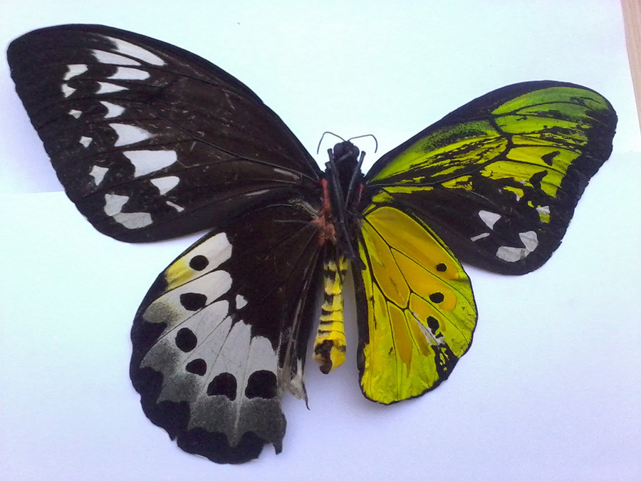 Butterfly with Male and Female Wings