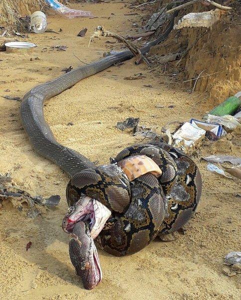 King cobra bites python. Python constricts cobra. Cobra dies of constriction, python dies from the venom. 100% holy shit