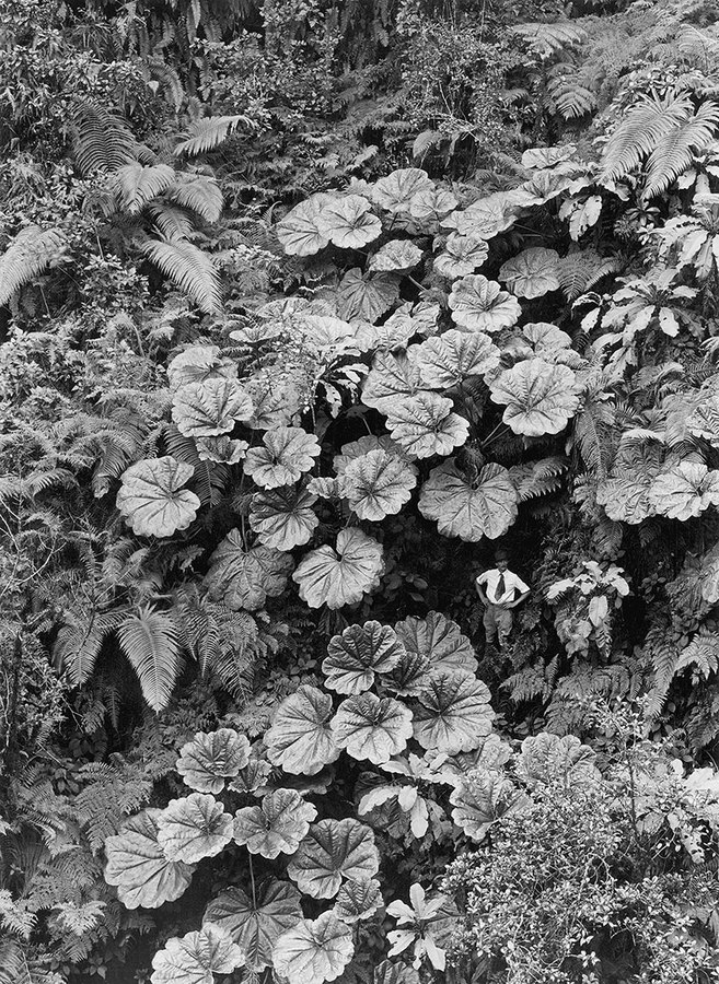 A man stands dwarfed under the Ape-Ape leaves of Puohokamoa Gulch in Maui, Hawaii, 1924