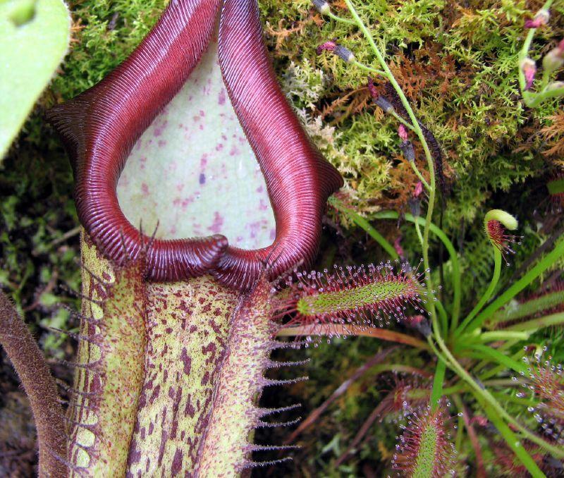 purple-carnivorous-plant-photo-drug-fungus.jpg