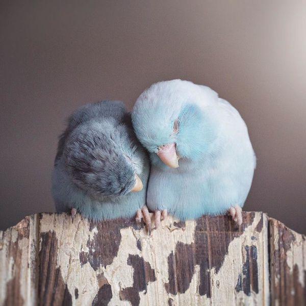 A-Storybook-Love-Between-Pastel-Parrotlets-5a83fa80d04af__880.jpg