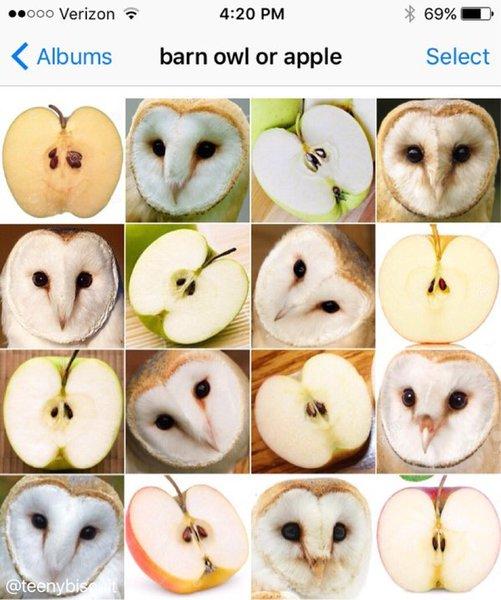 barn owl or apple
