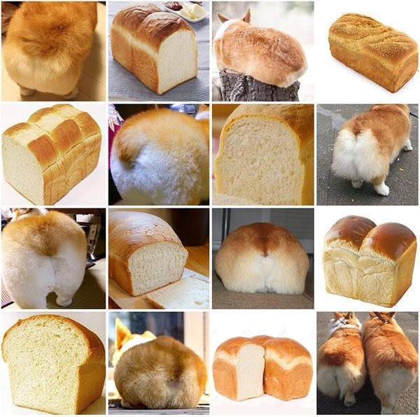 corgi butt or bread
