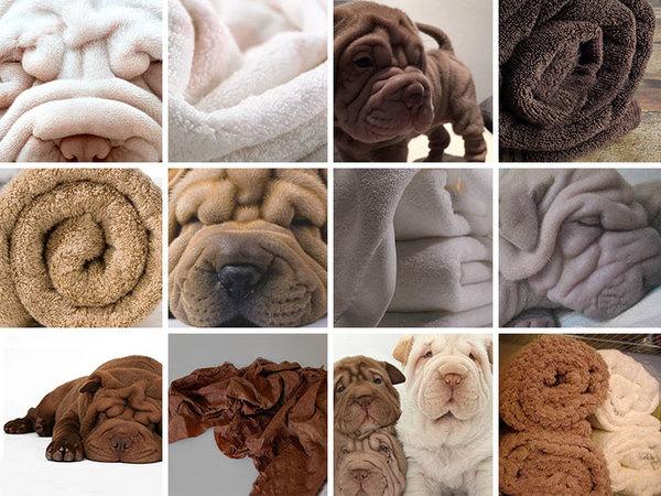 shar-pei or towel