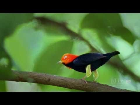 The amazing moonwalking manakin bird! From the PBS Nature documentary Deep Jungle - New Frontiers.