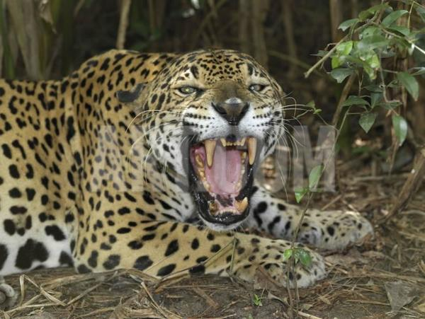 thomas-marent-jaguar-with-open-mouth-showing-its-sharp-teeth-panthera-onca-belize_a-g-9000604-14258389.jpg