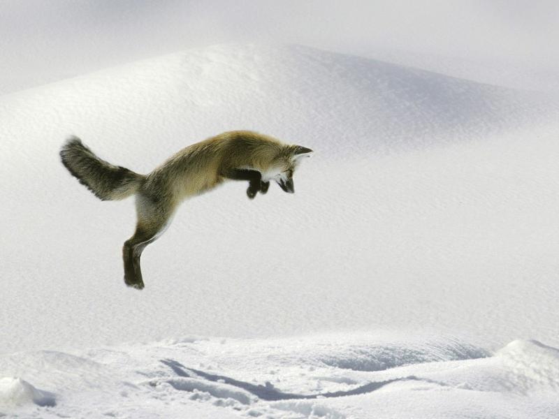 nature-winter-snow-animals-foxes-1600x1200-wallpaper_www.wallmay.com_50.jpg