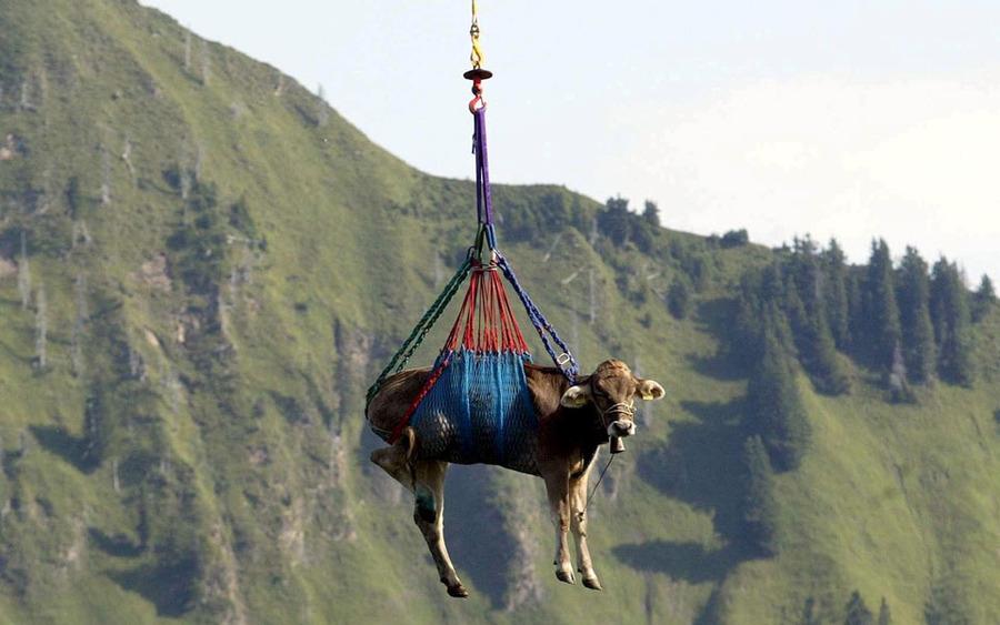 Cow-flying.jpg