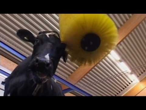 Natural behaviour is essential for cows that need to optimally perform. DeLaval cow brushes improve animal welfare and promote correct cow traffic in the barn. They are developed to increase cow health, cow comfort, animal welfare and overall performance. The cow brush improves animal welfare by increasing blood circulation while keeping the cows clean, busy and happy.