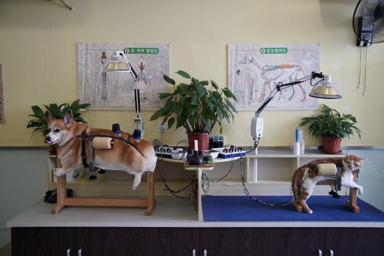 A dog and a cat receive treatment at Shanghai TCM (Traditional Chinese Medicine) Neurology and Acupuncture Animal Health Center, which specialises in acupuncture and moxibustion treatment for animals, in Shanghai, China, August 9, 2017. REUTERS/Aly Song