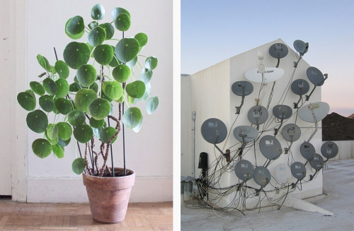 Biomimetics. Left: Pilea peperomioides - via morganetenoux (instagram). Right - Collection of satellite dishes (unknown source)