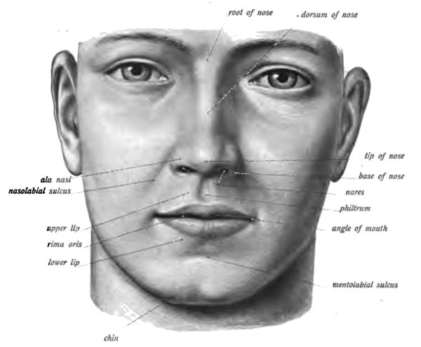 An anatomical illustration from the 1906 edition of Sobotta's Atlas and Text-book of Human Anatomy with English terminology.  https://en.wikipedia.org/wiki/Philtrum#/media/File:Sobo_1906_324.png